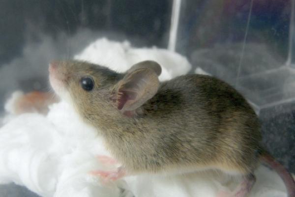 ネズミの駆除処理