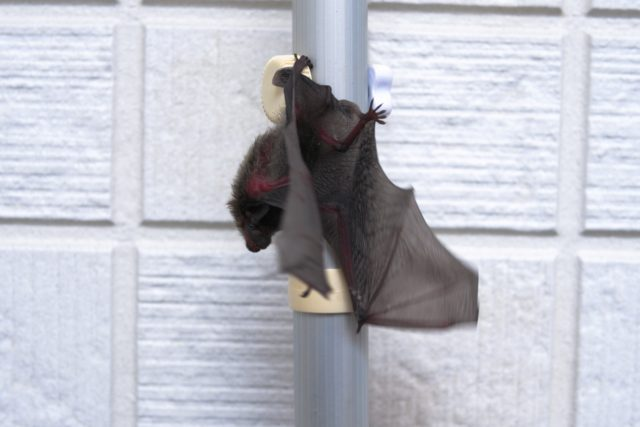 コウモリ被害