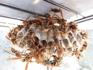 アシナガバチの巣駆除